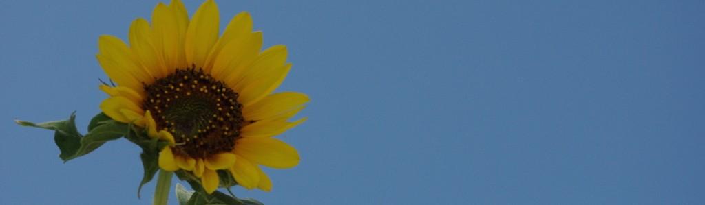 Sonnenblume lang